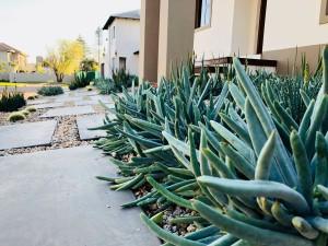 Sbahlescapes-cotyledon-orbitulata-plant